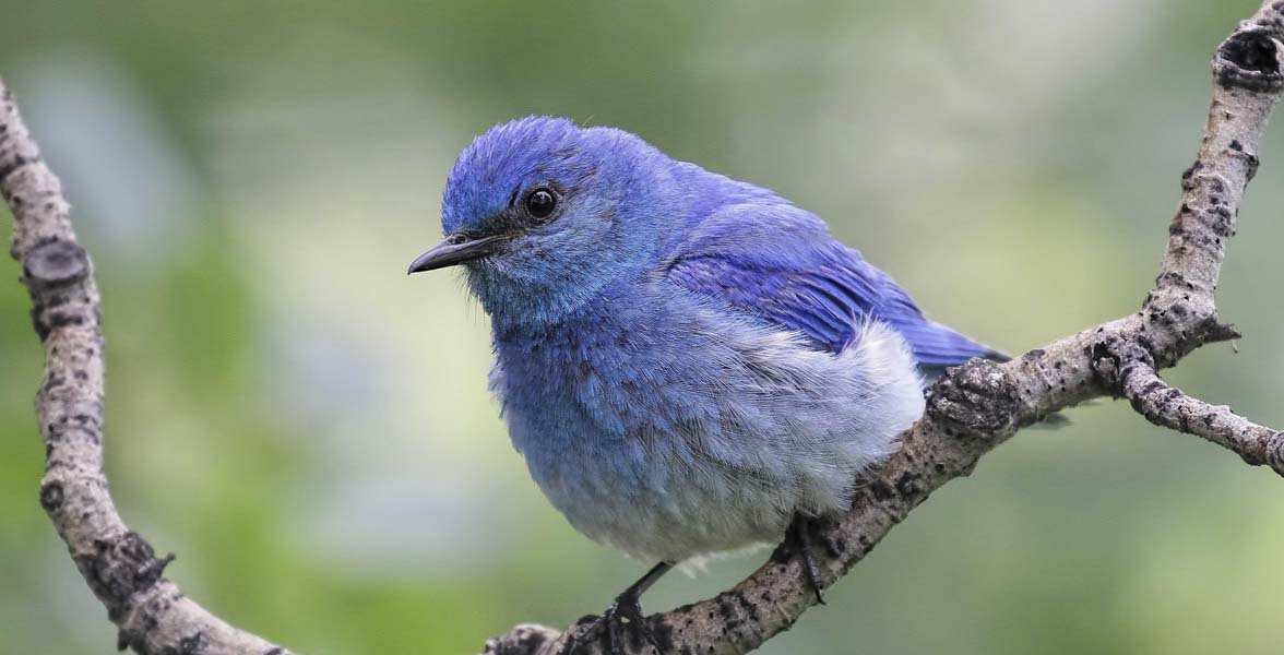 Mountain Bluebird. John Pizniur/Great Backyard Bird Count