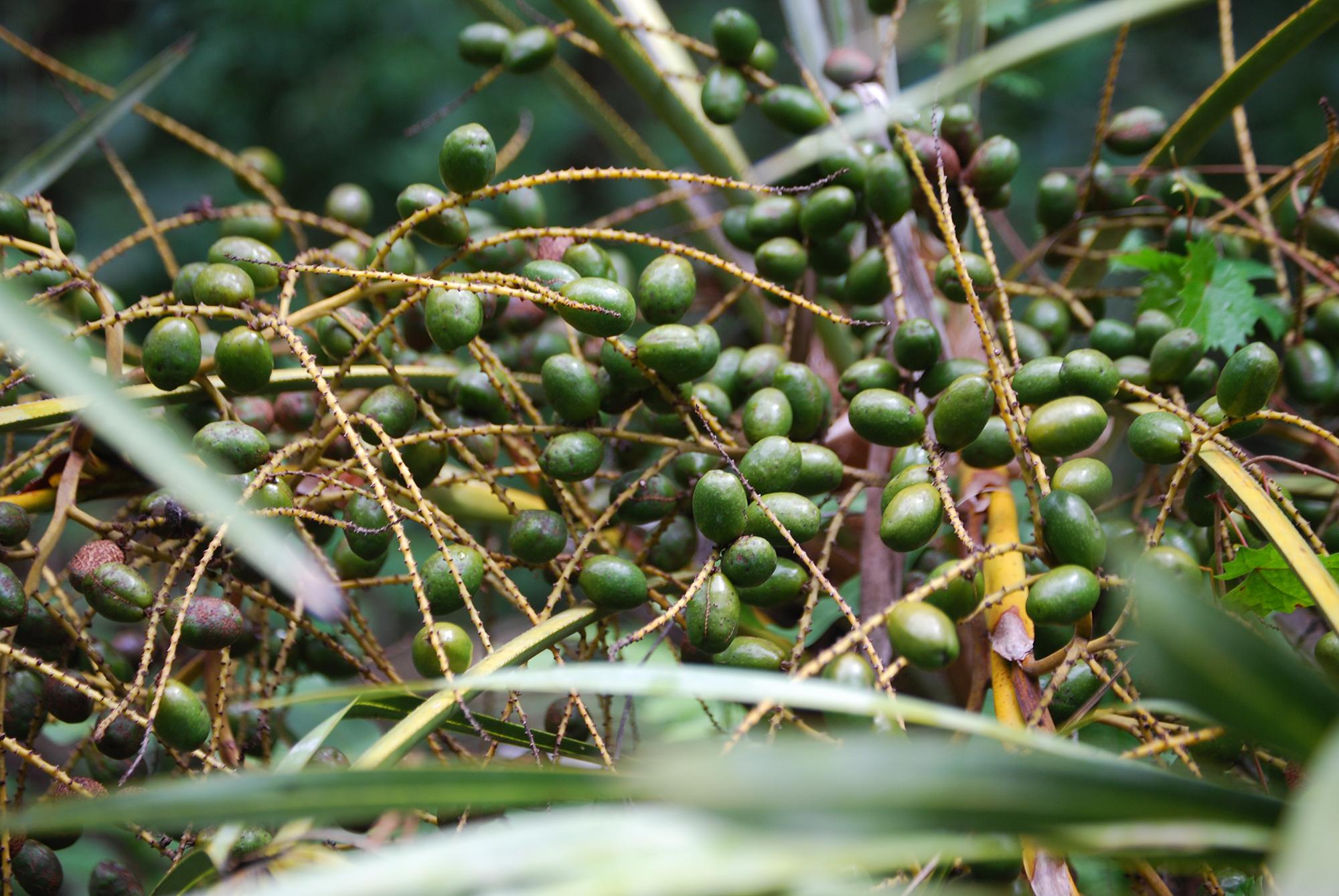 Saw palmetto berries.