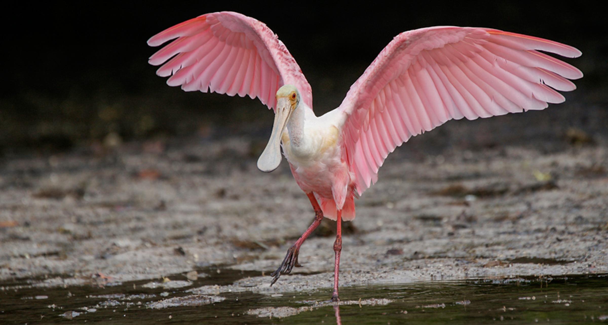 Roseate Spoonbill. Photo: Paul Brooke / Audubon Photography Awards.