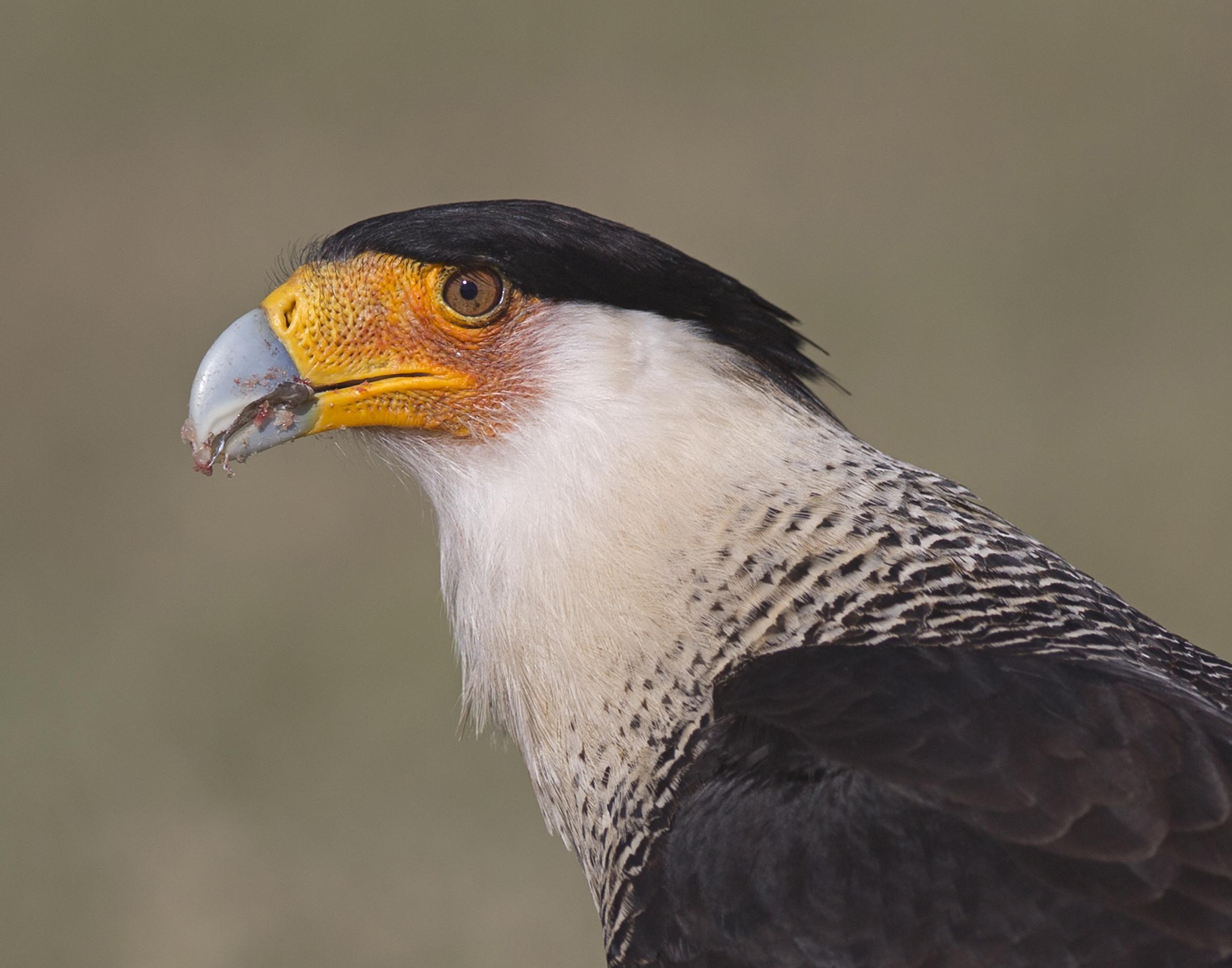 Crested Caracara. Photo: Rob Sabatini/Audubon Photography Awards.