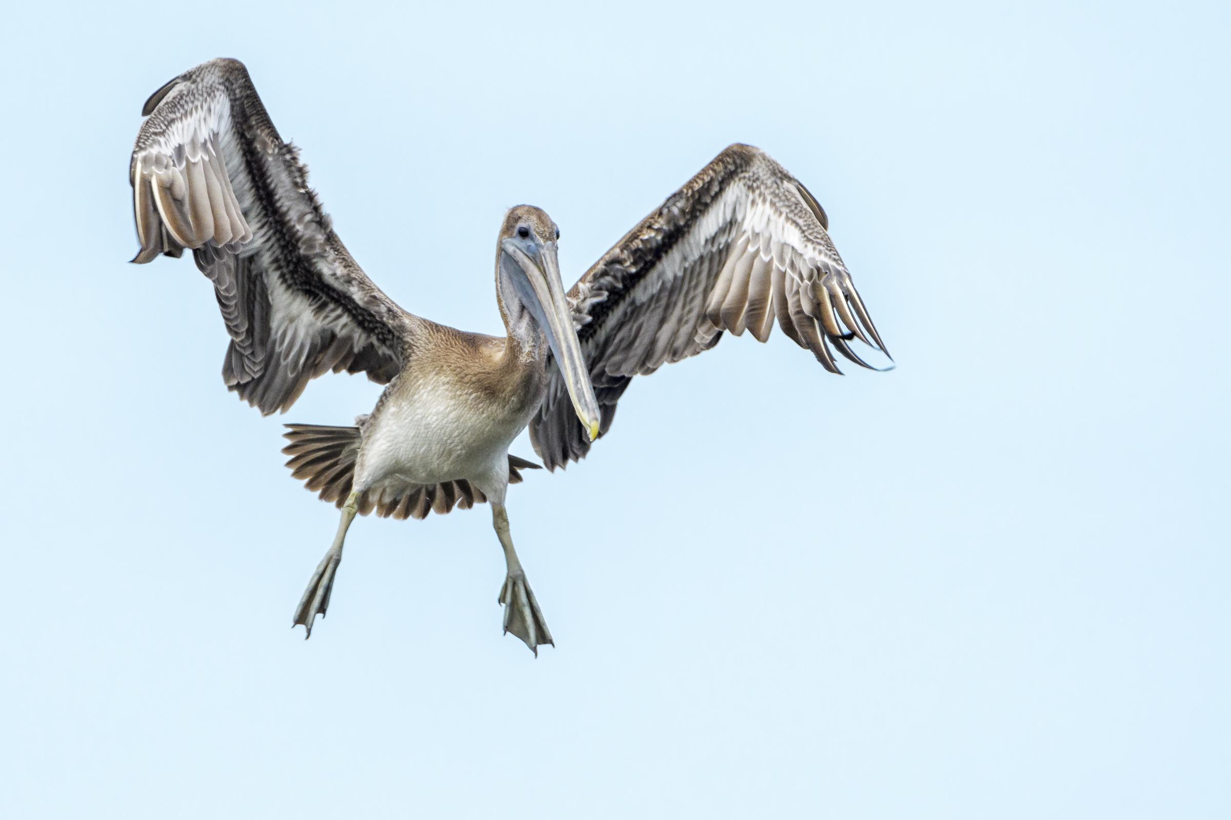 Brown Pelican. Photo: Richard Higgins/Audubon Photography Awards.