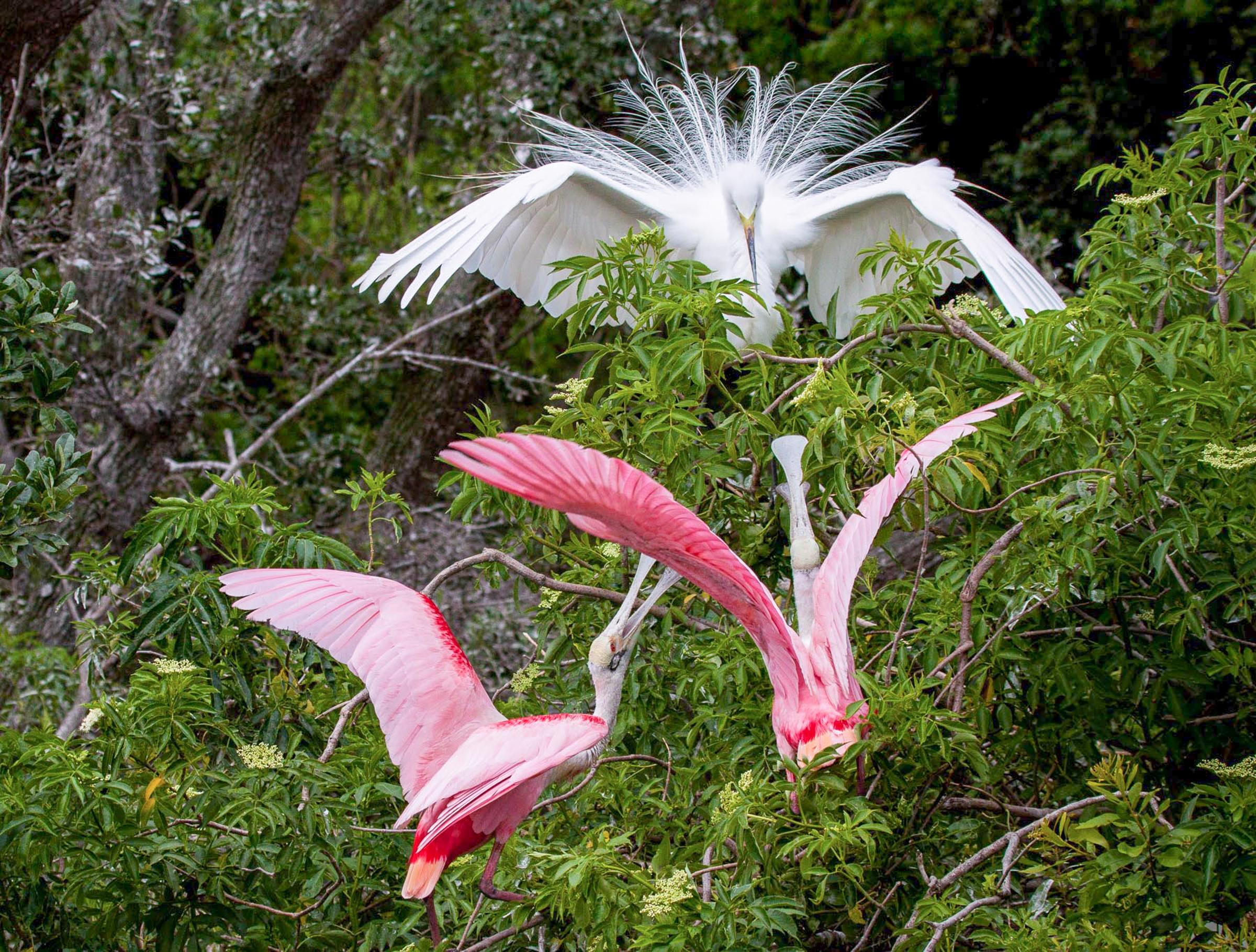 Snowy Egret and Roseate Spoonbill. Photo: Chuck Murphy / Audubon Photography Awards.