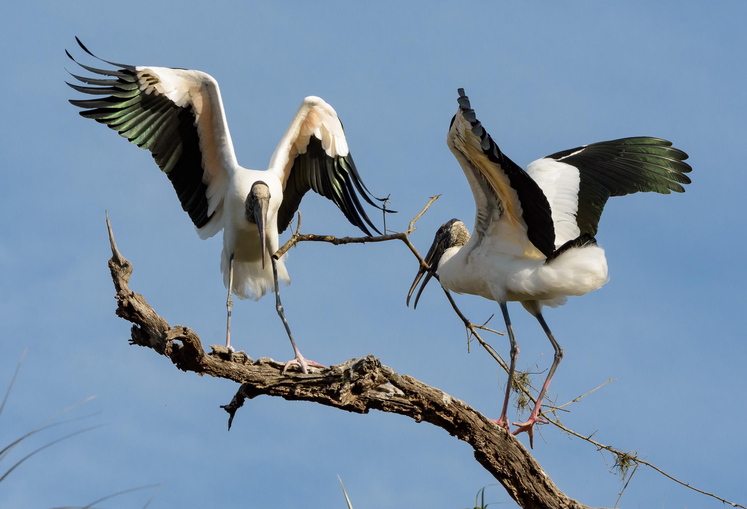 Wood Storks. Photo: Photo: Trudy Walden/Audubon Photography Awards.