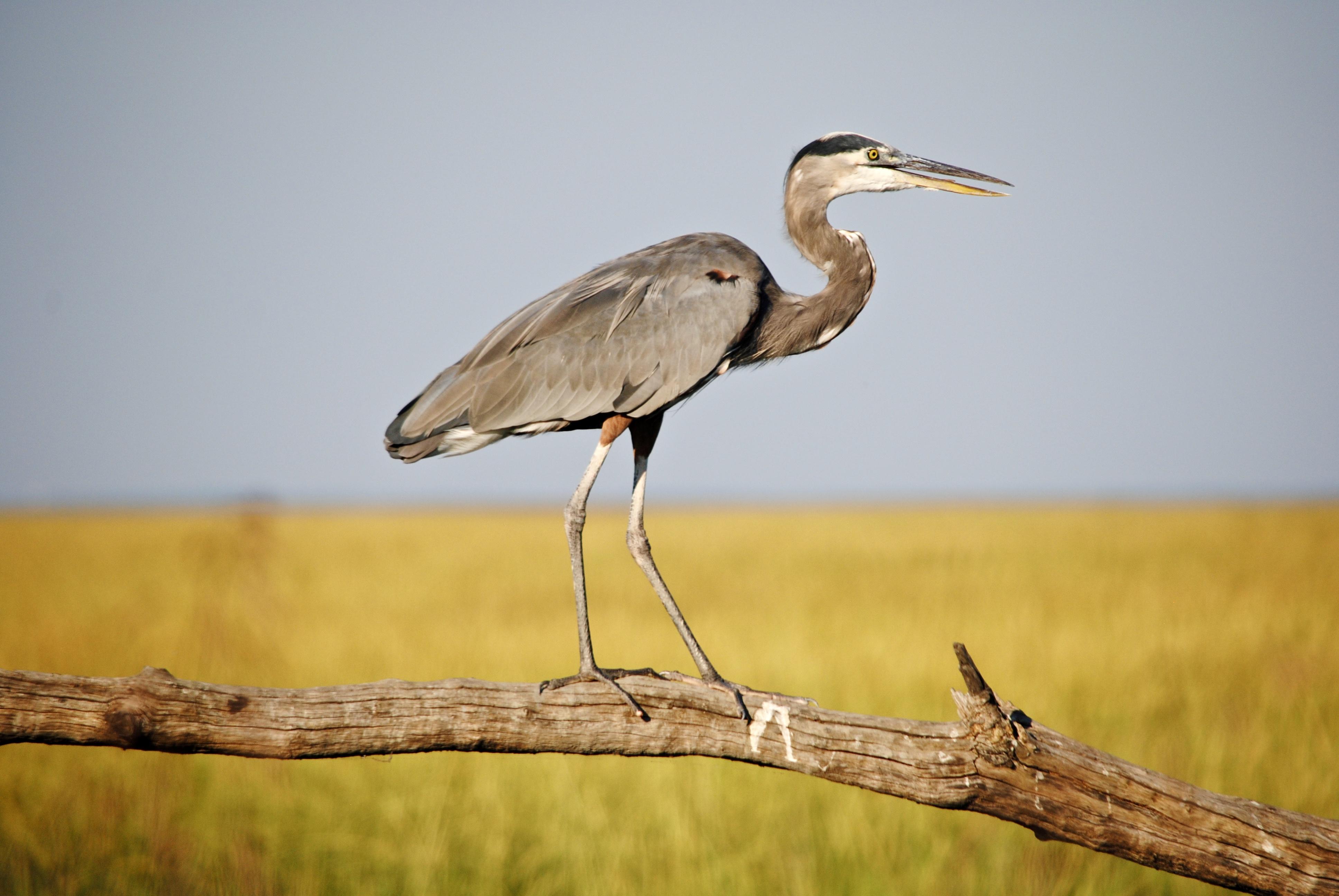 Great Blue Heron. Photo: Robert Giles/Audubon Photography Awards.