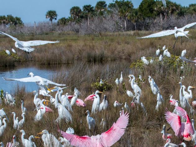 Wading birds in a wetland