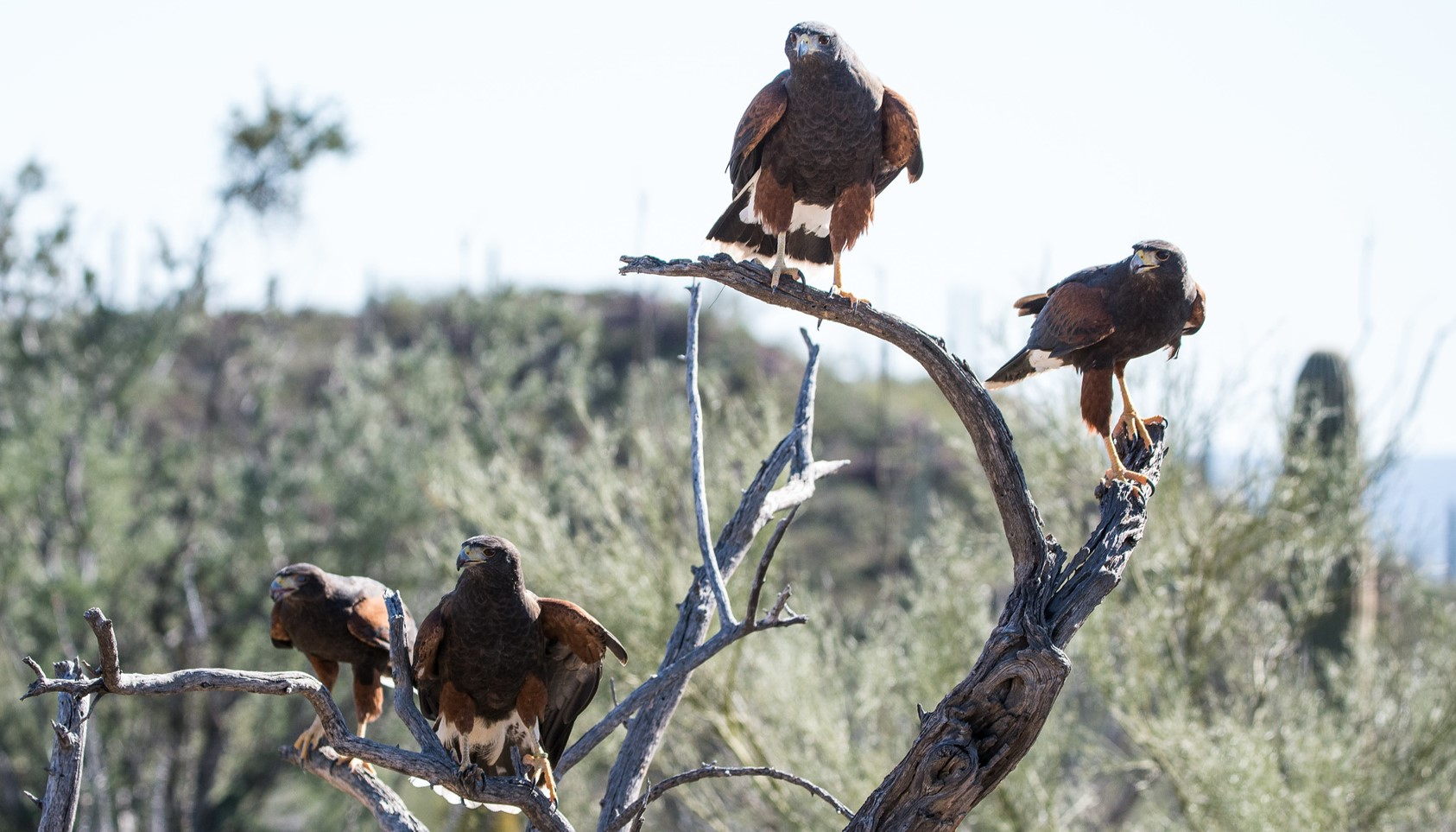 A family of Harris's Hawks perch together on branches of a dead tree in a desert.