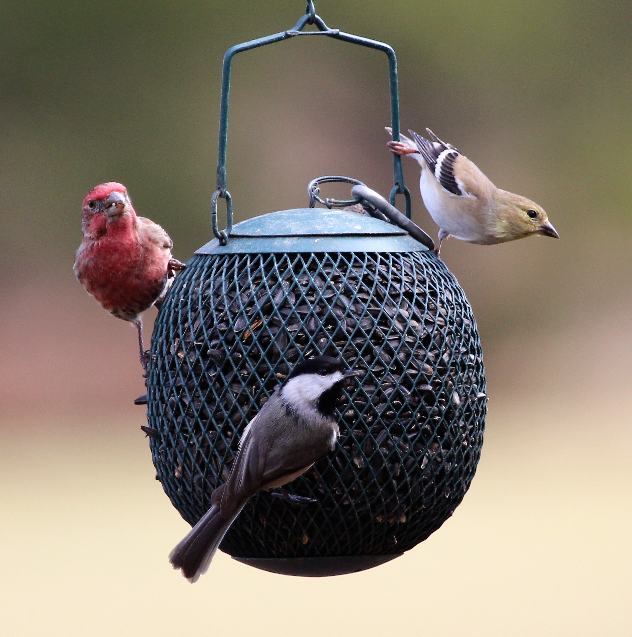 American Goldfinch, House Finch