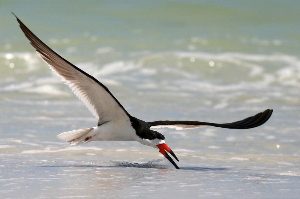 Black Skimmer. Photo: Danny Sauvageau/Audubon Photography Awards.