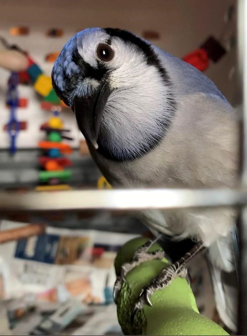 John Jay, Beidler's Blue Jay