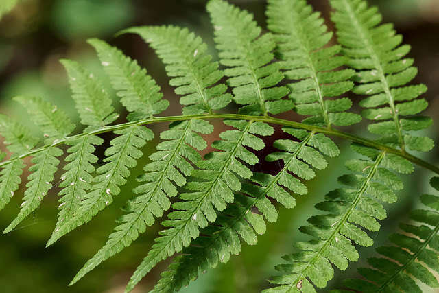 Lady Fern photo by Peggy A. Lopipero-Langmo