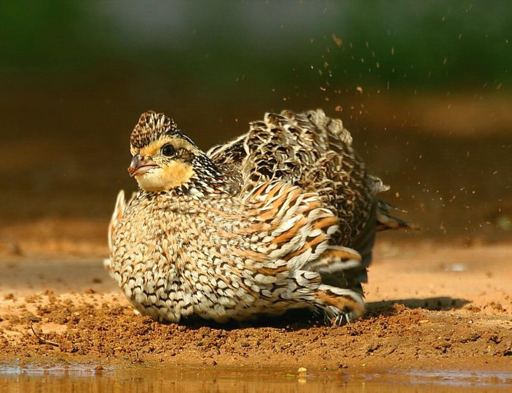 Northern Bobwhite. Myrna Erler Bradshaw/Audubon Photography Awards