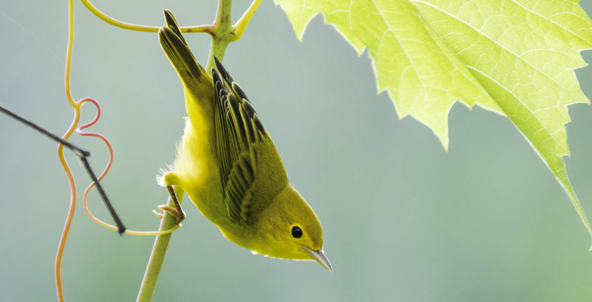 Yellow Warbler, threatened by climate change. Photo: Gregory Seitz/Audubon Photography Awards