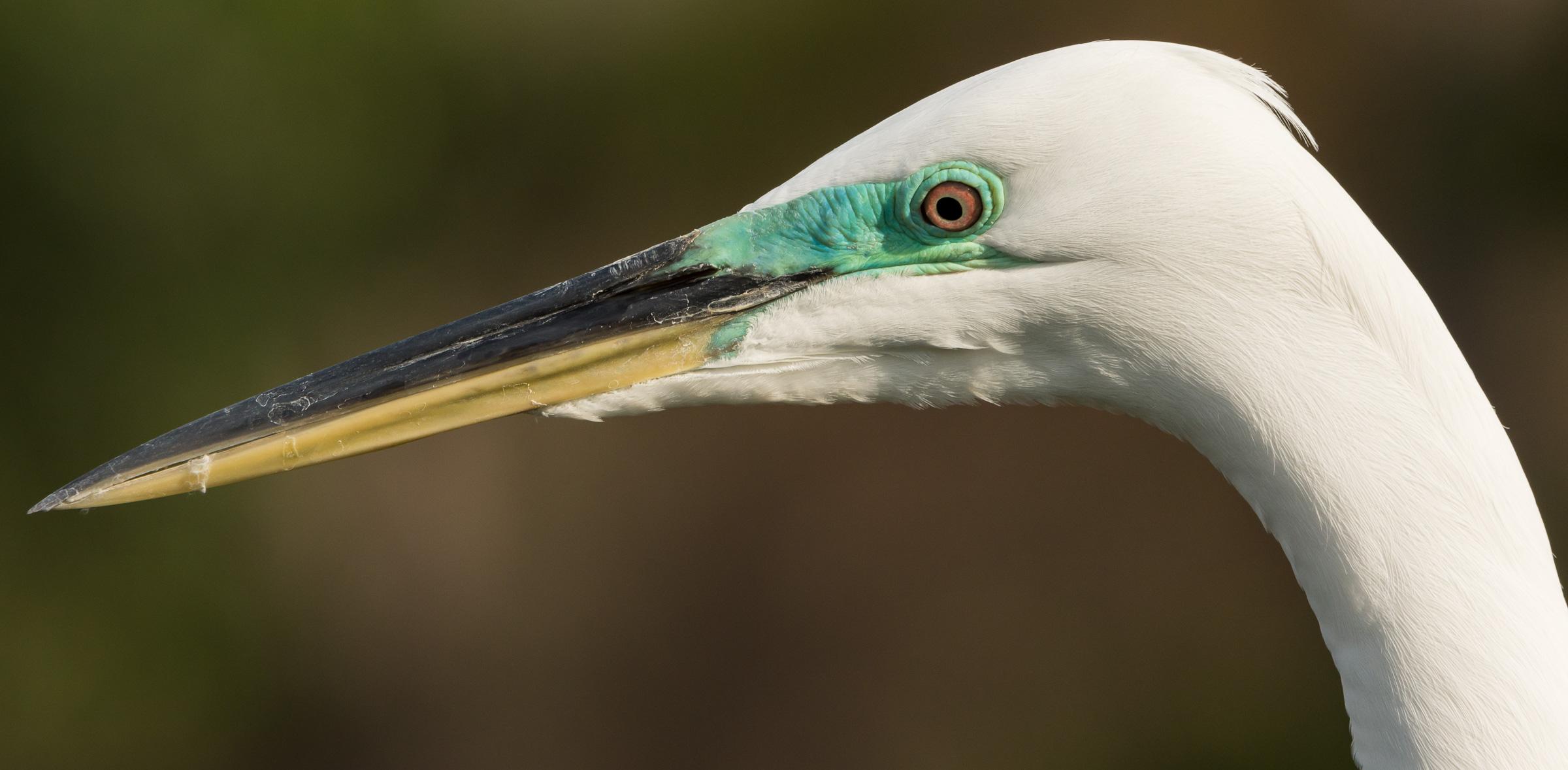 Great Egret. Photo: Trudy Walden/Audubon Photography Awards.