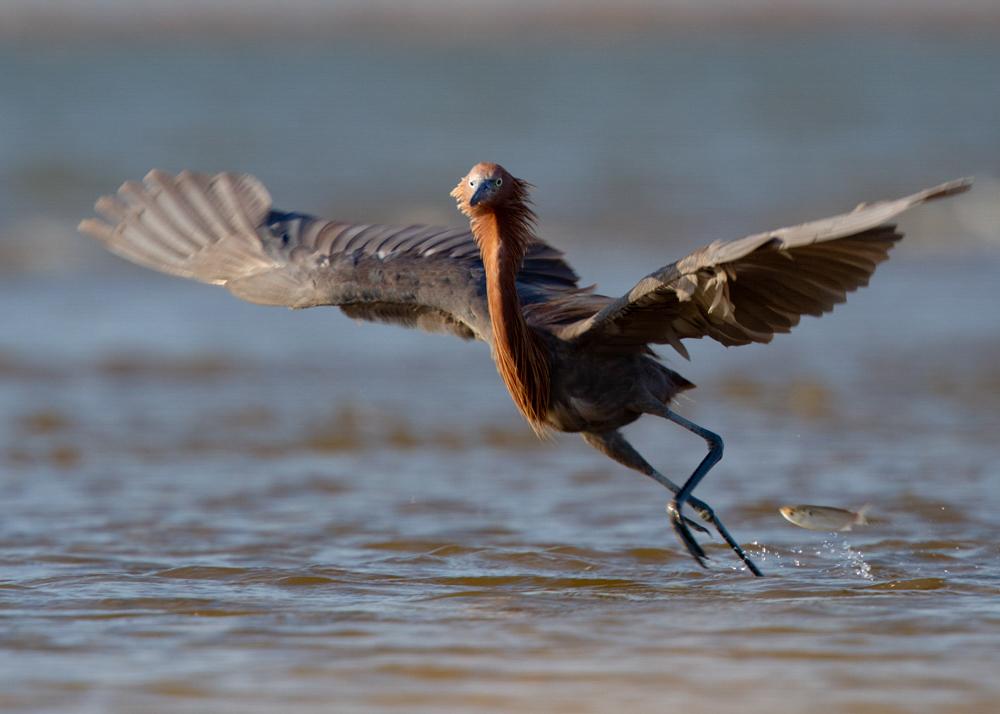 Reddish Egret. Photo: Tim Timmis/Audubon Photography Awards.