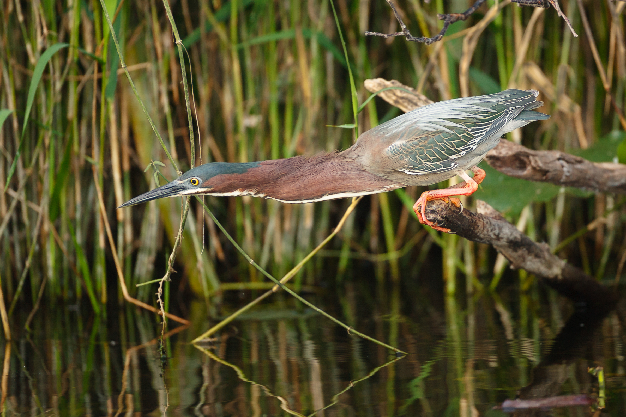 A Green Heron leans over the water, looking for prey. Edward Cordes/Audubon Photography Awards.