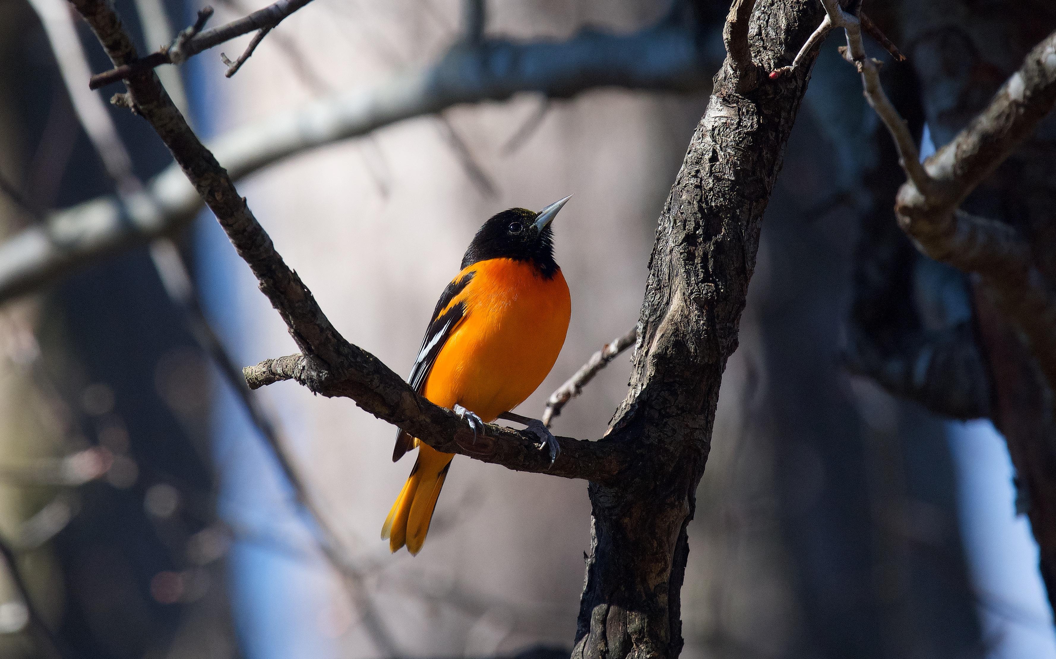 Baltimore Oriole. Photo: Una Davenhill/Great Backyard Bird Count.