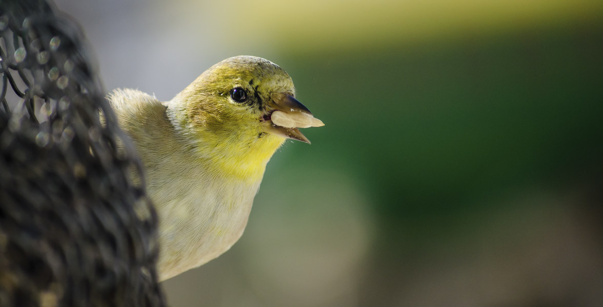 An American Goldfinch holds a sunflower seed while perched on a feeder.