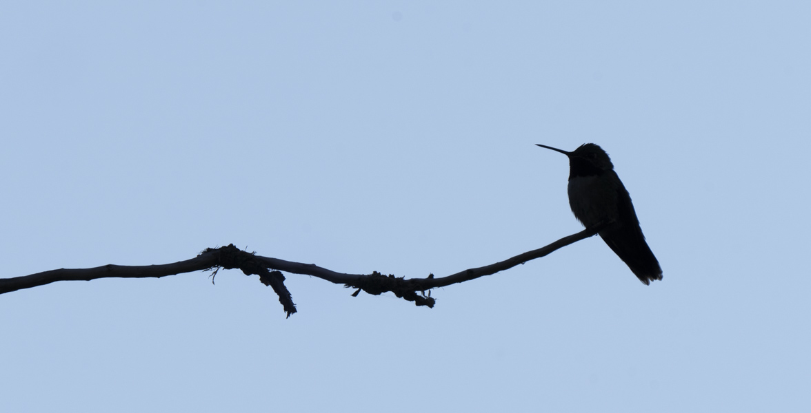 Hummingbird perched on a branch, silhouetted.