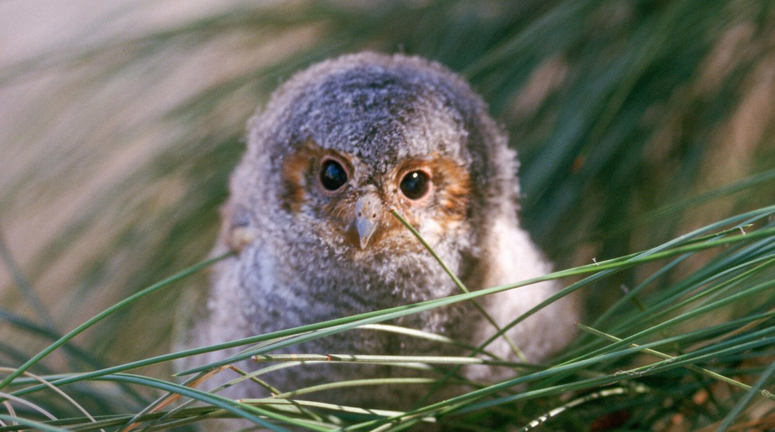A soft and cute looking Flammulated Owl looks up at you in a greed bed of reeds or long grass.