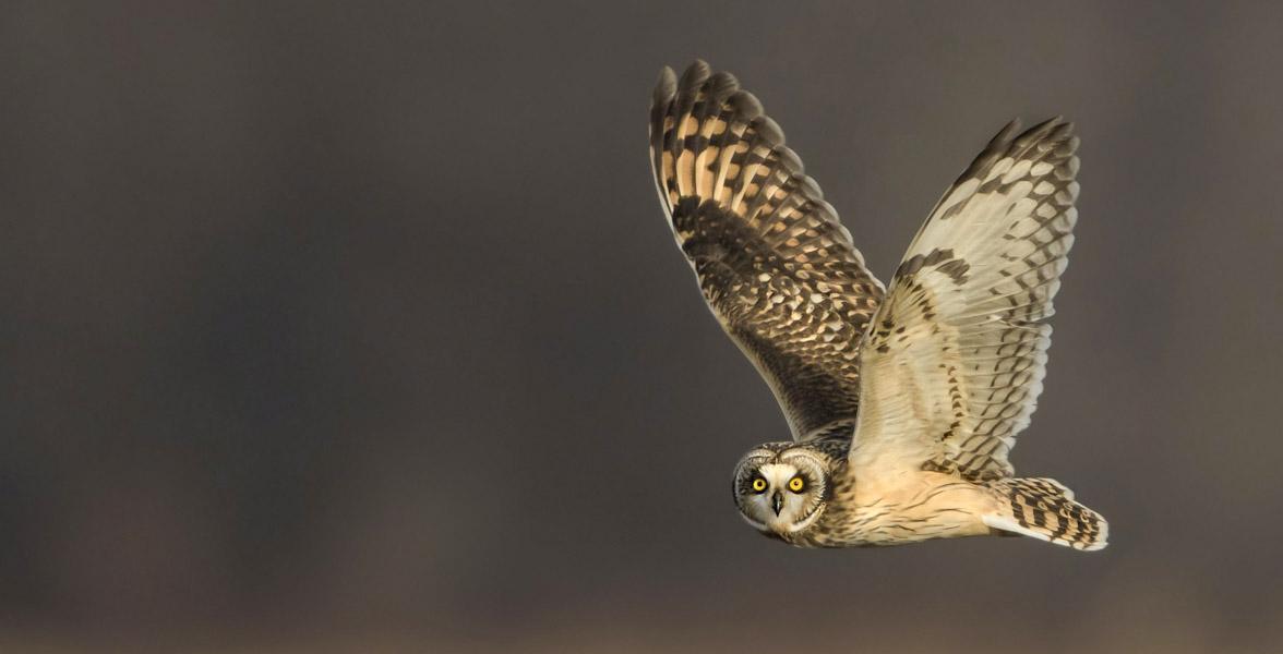 A Short-eared Owl in flight.
