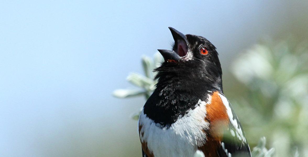 A Spotted Towhee sings.