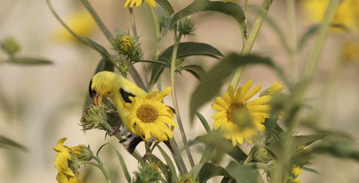 Male American Goldfinch foraging on an annual sunflower.