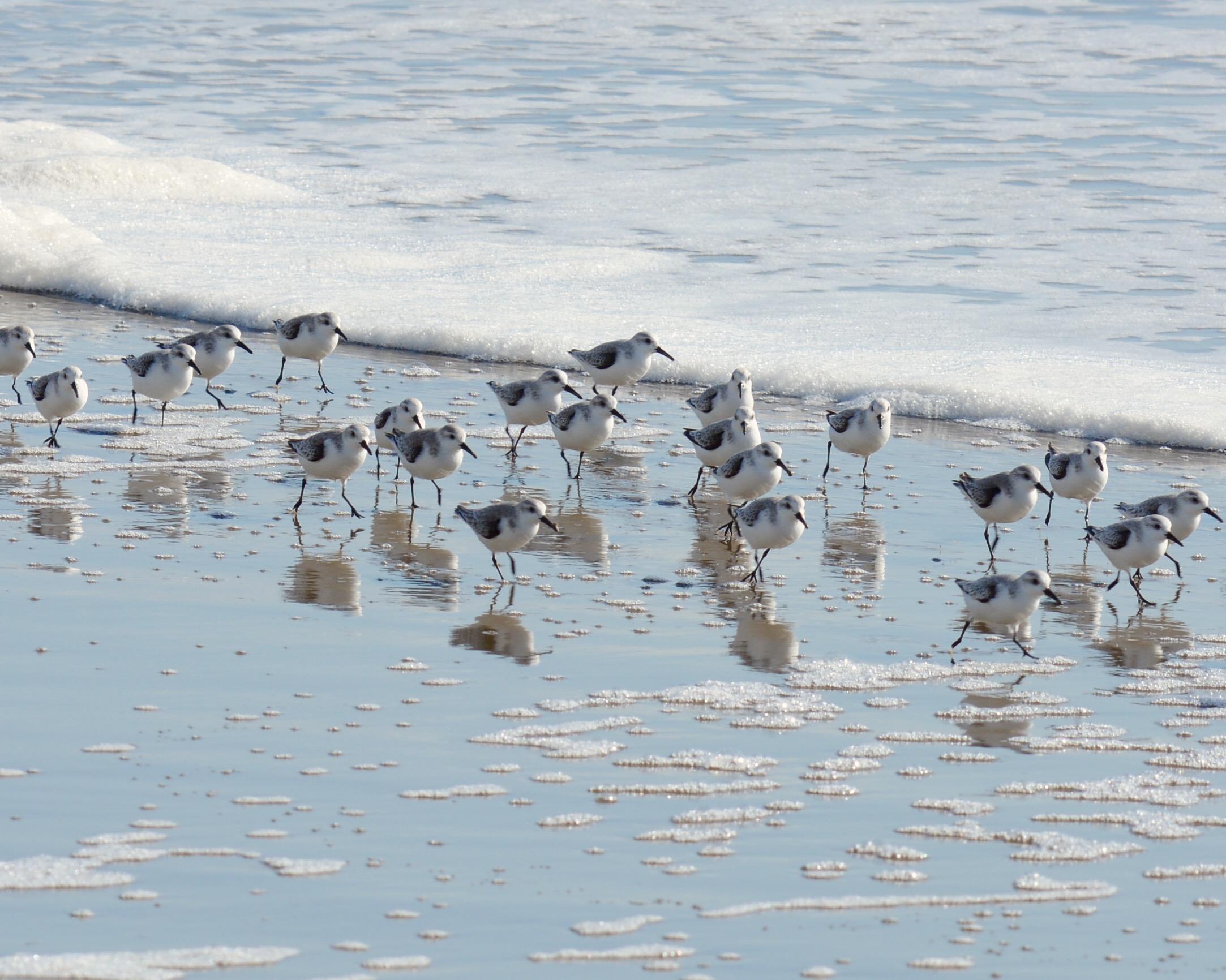 Sanderlings. Photo: Andrew Berrier/Audubon Photography Awards.