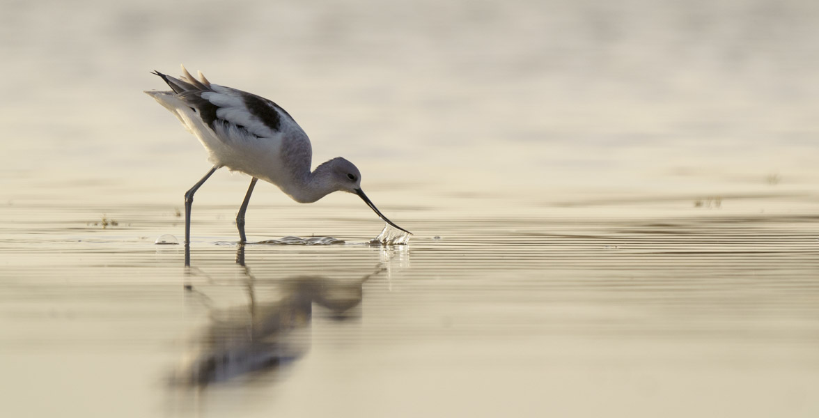 An American Avocet forages in a shallow wetland.