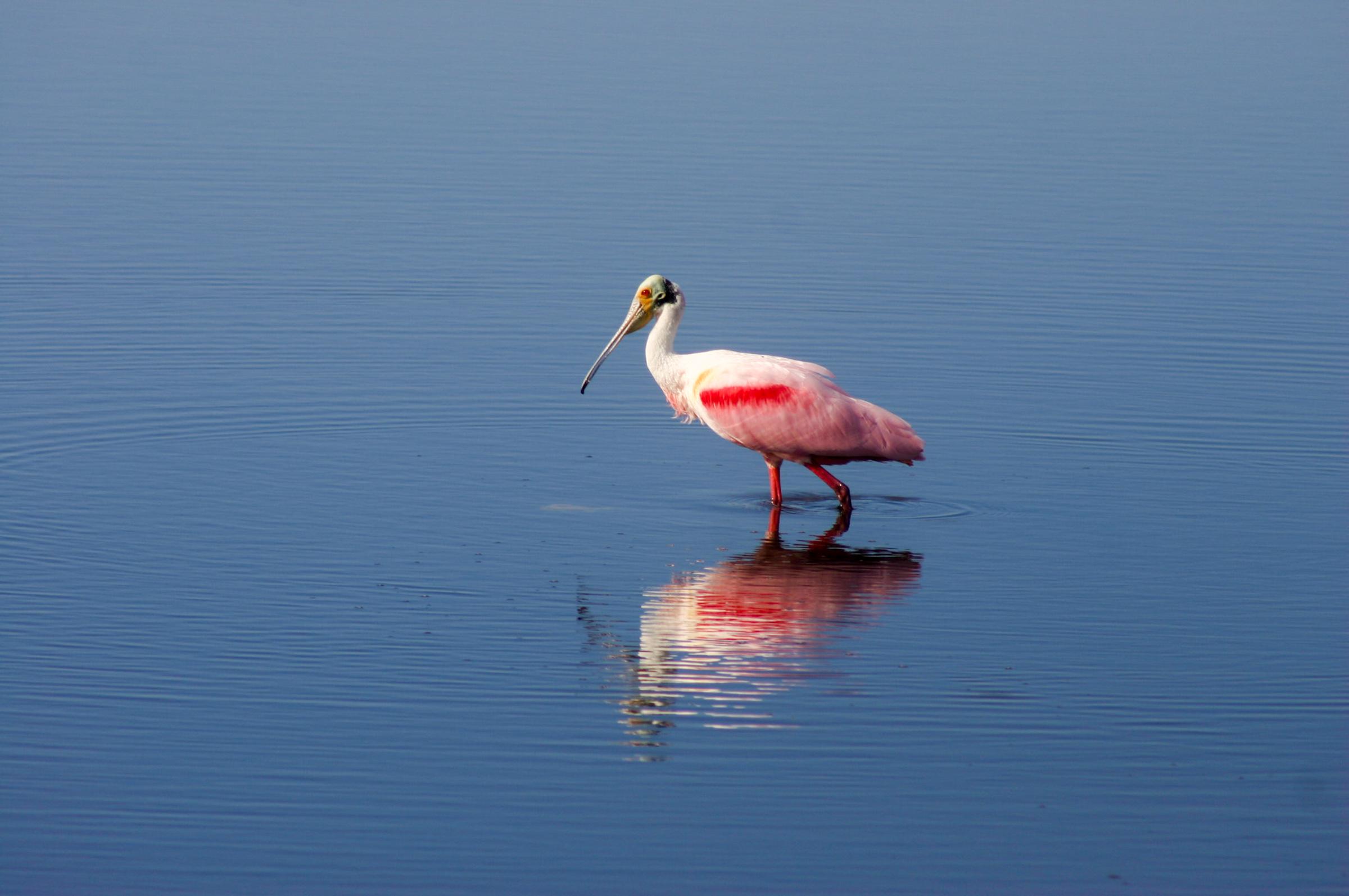 Roseate Spoonbill. Photo: Mark Cloud / Audubon Photography Awards.