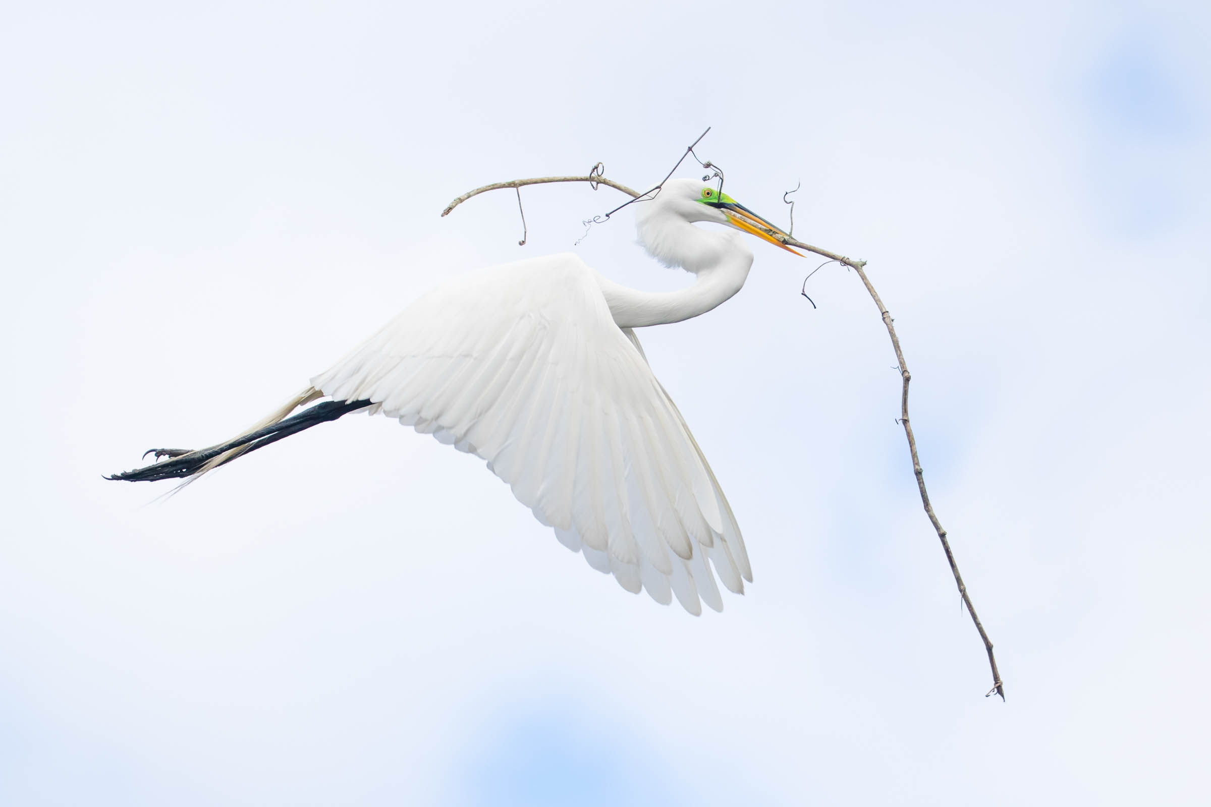 Great Egret. Photo: Trish O'Keefe/Audubon Photography Awards.