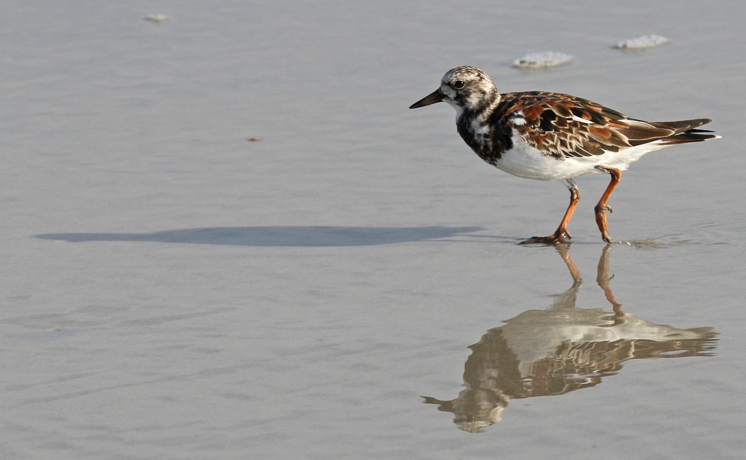Ruddy Turnstone. Photo: Lane Kistler/Audubon Photography Awards.