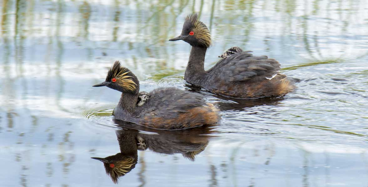 A pair of Eared Grebes swim with chicks.