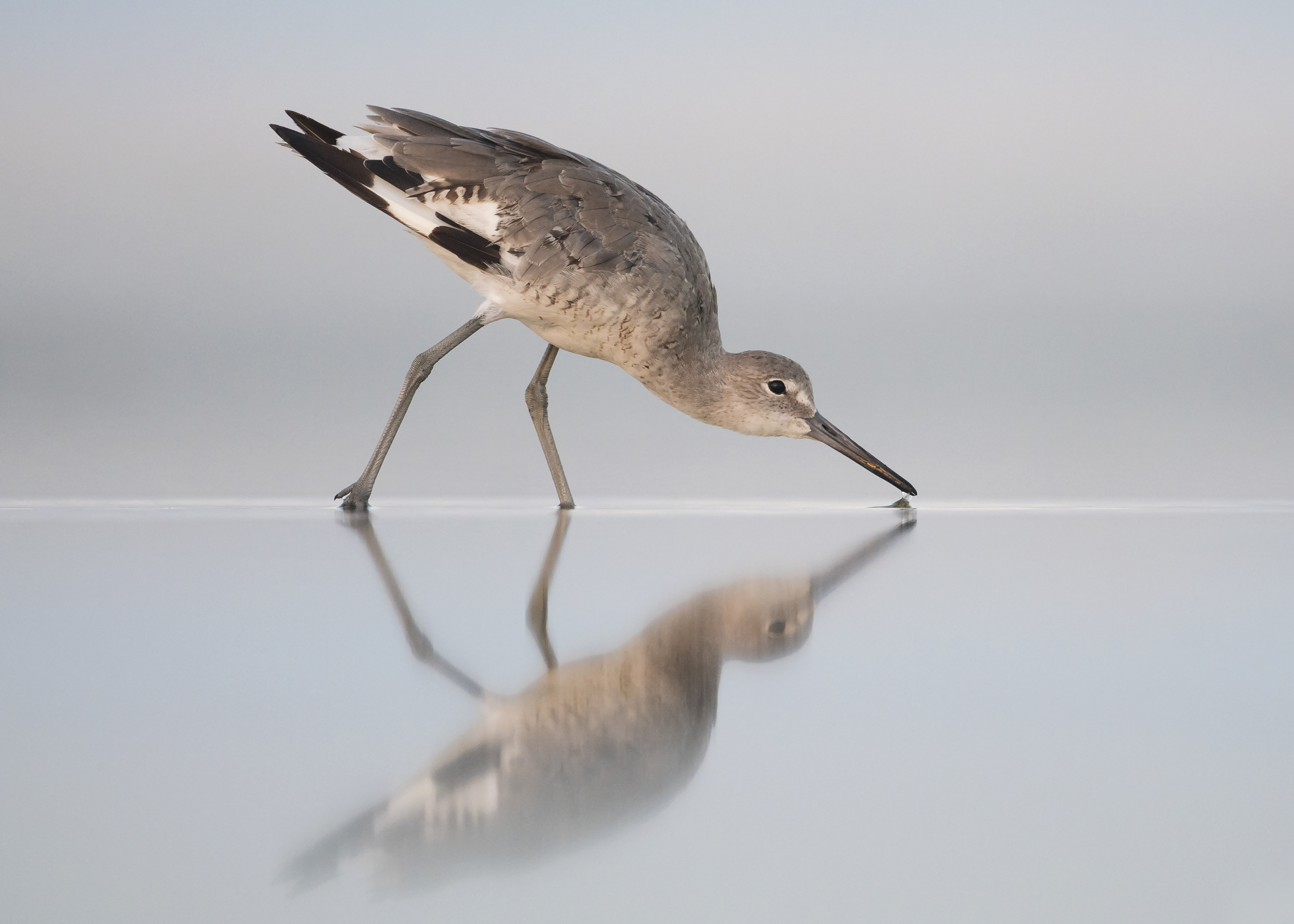 Willet. Photo: Peter Brannon/Audubon Photography Awards.