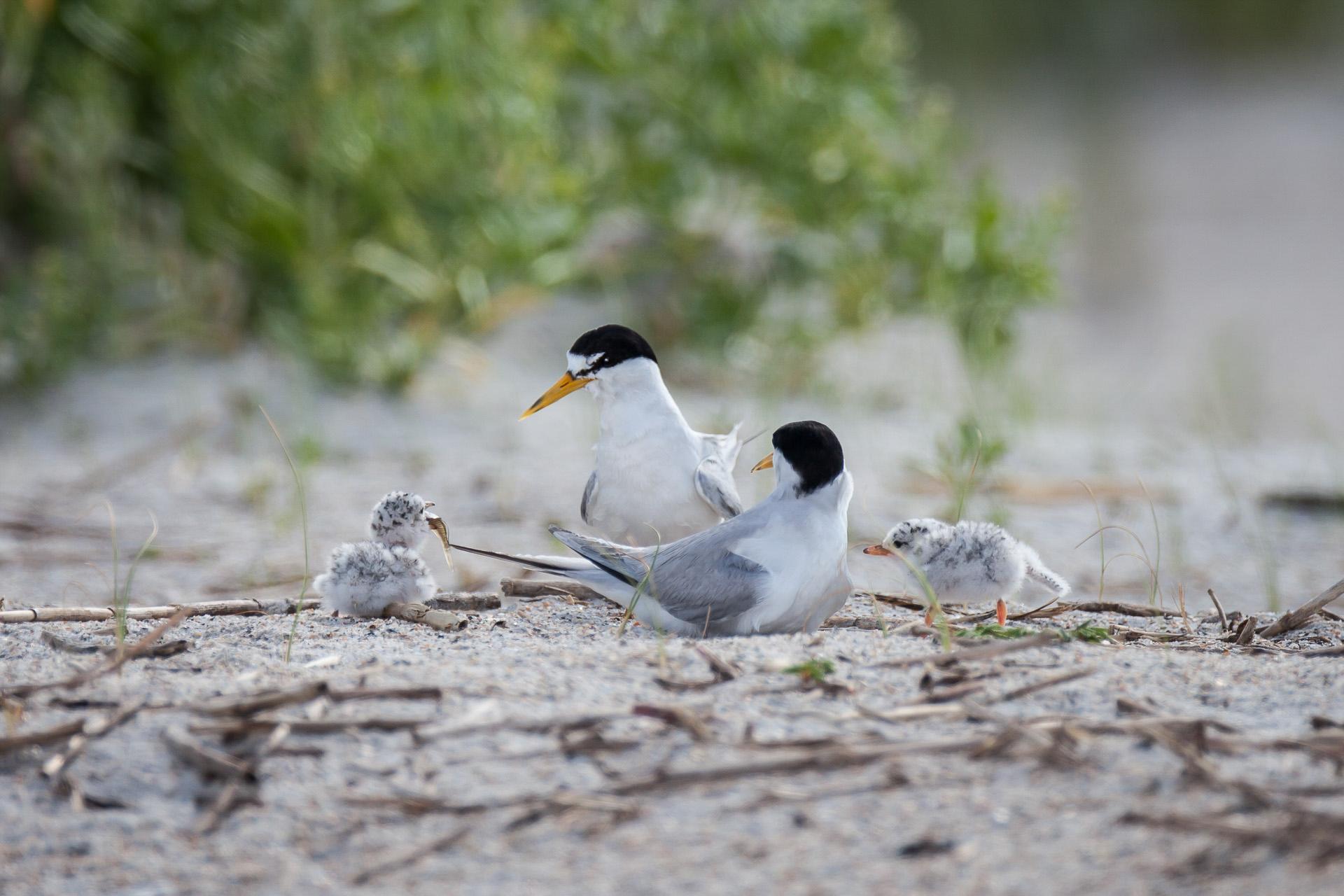 Least Terns. Photo: Ethan Slattery/Audubon Photography Awards.