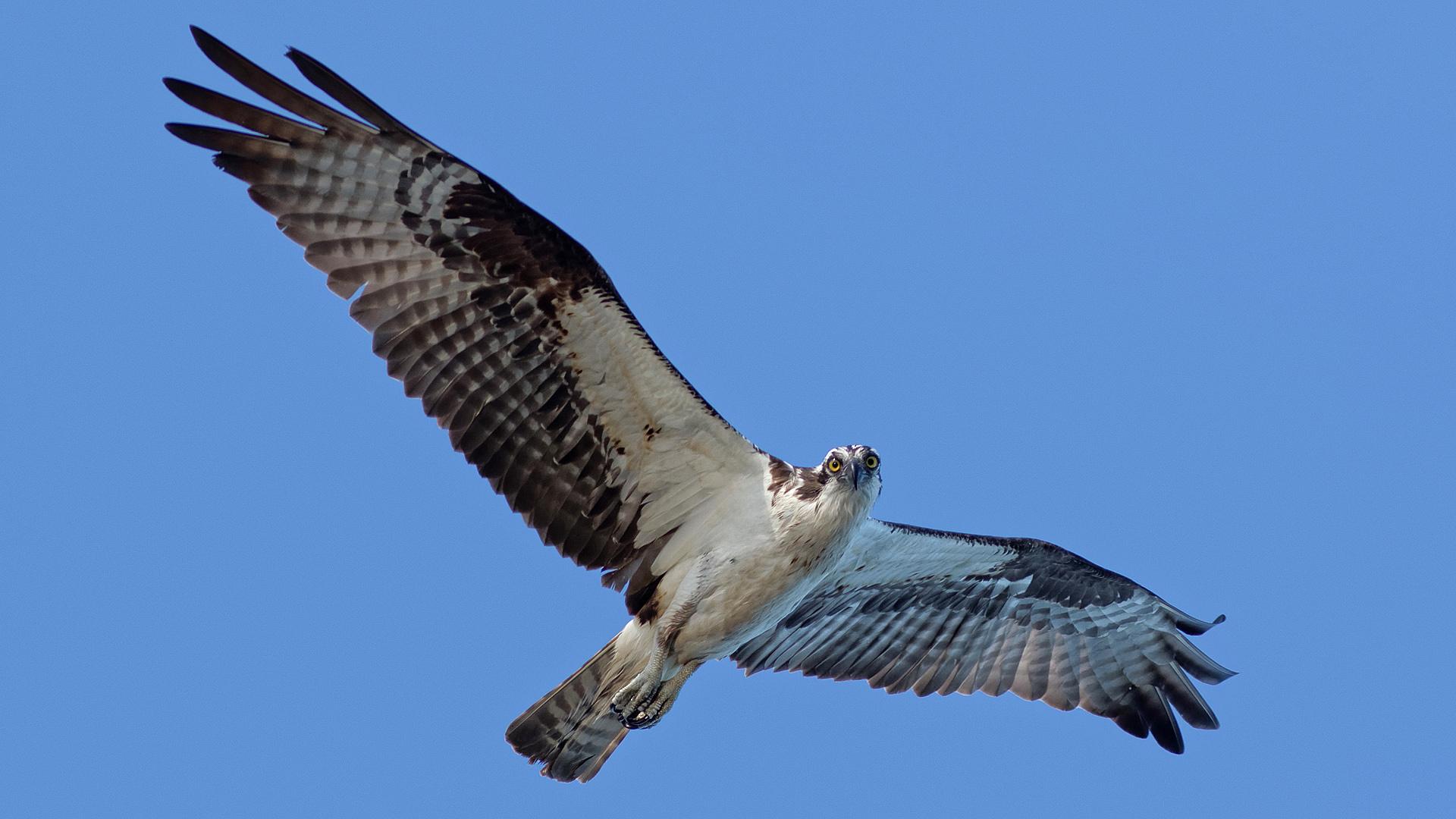 Osprey. Photo: LeRoy VanHee.