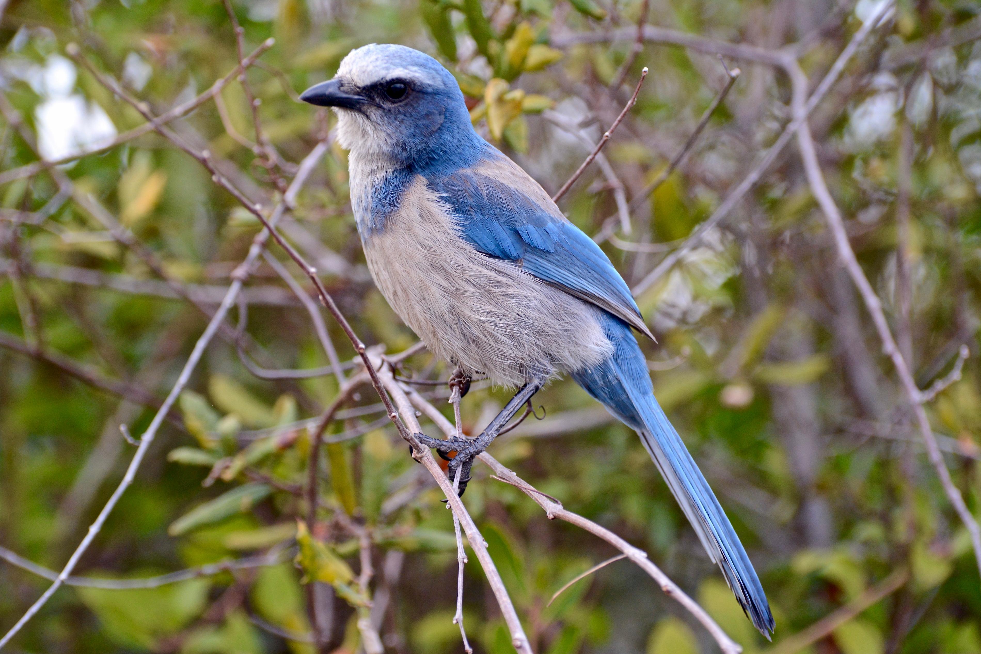 Florida Scrub-Jay. Photo: Ann Foster/Great Backyard Bird Count.