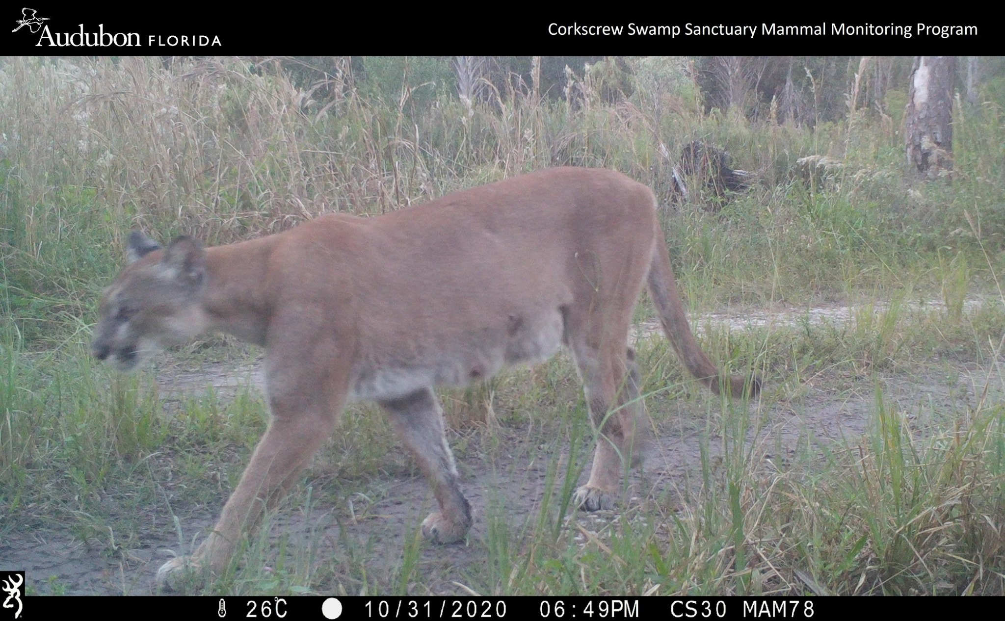 Panther mother on trail camera
