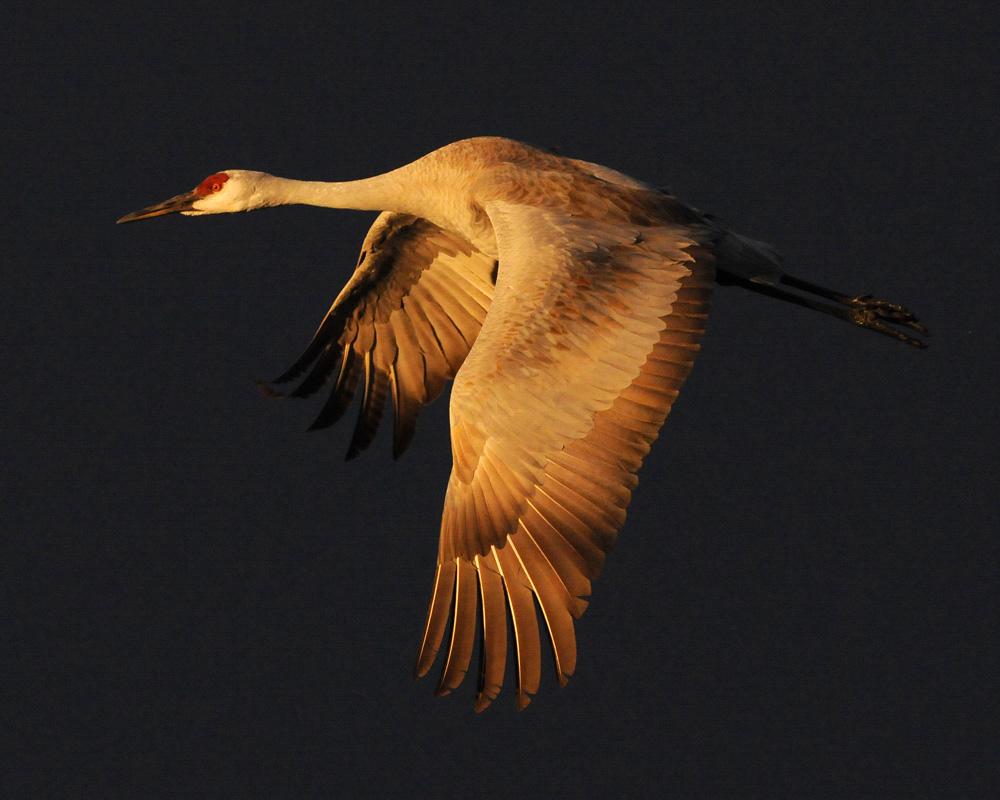 Sandhill Crane. Photo: Rolland Swain/Audubon Photography Awards.