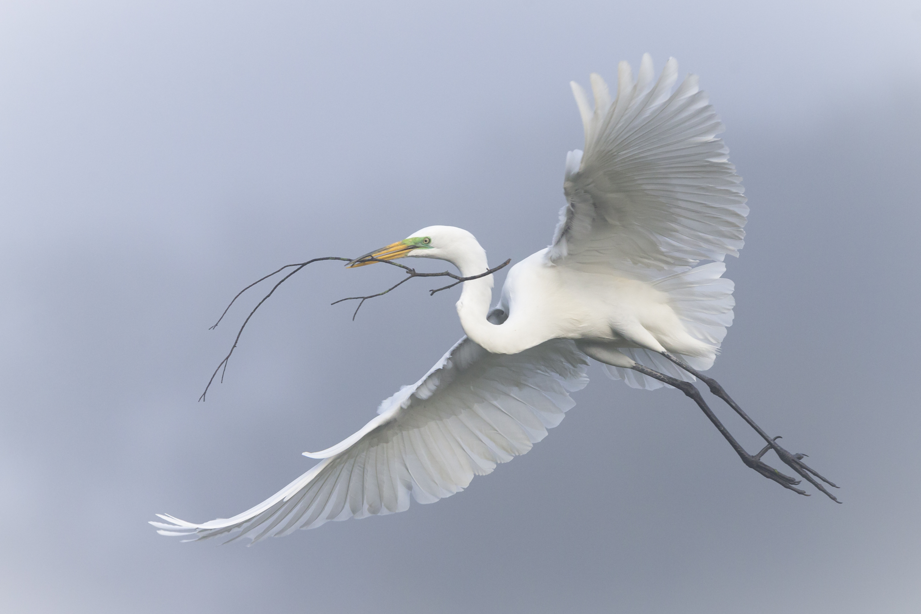 Great Egret. Photo: Mary Lundeberg.