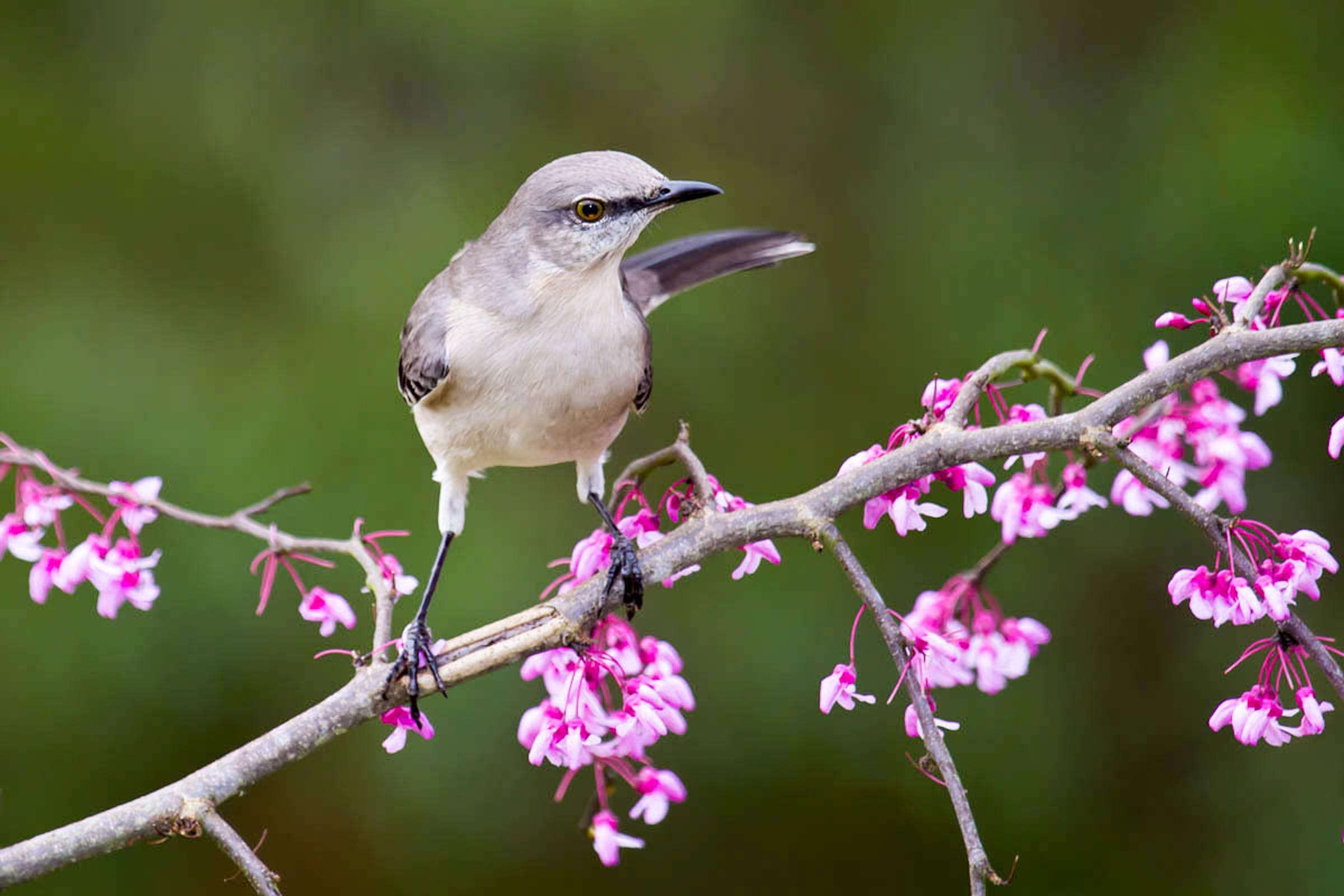Northern Mockingbird, Eastern Redbud