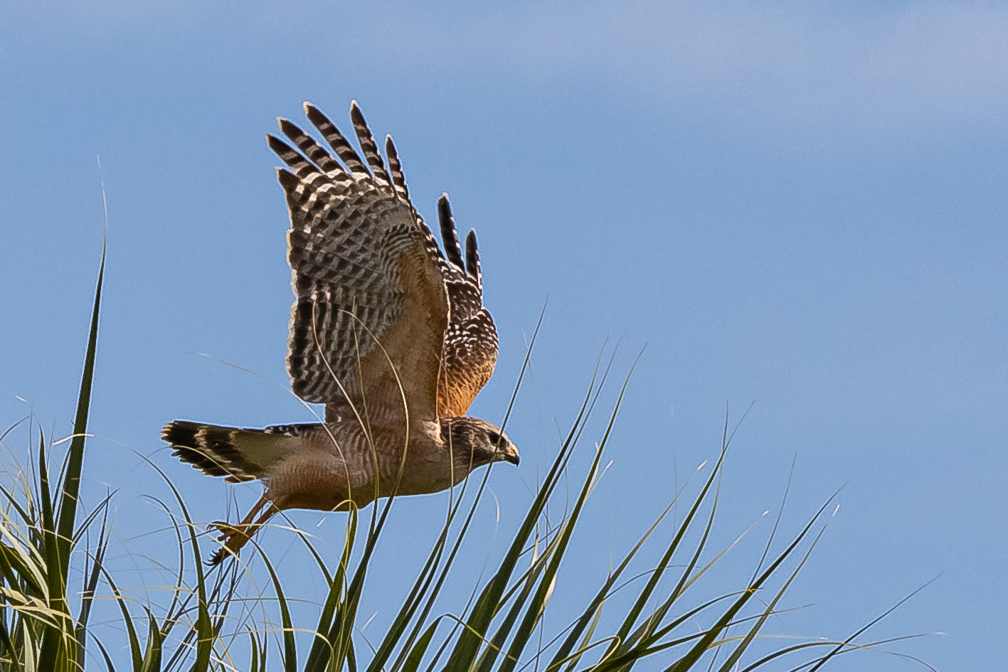 Red-shouldered Hawk. Photo: Arnold Collens.