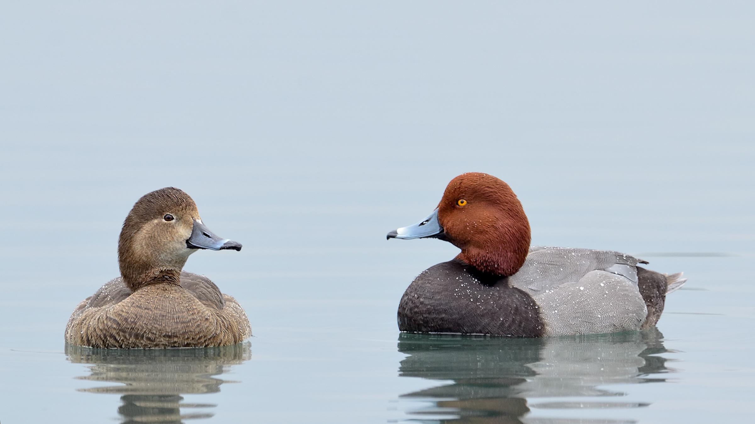 Redhead ducks. Photo: Bill Dix / Audubon Photography Awards.