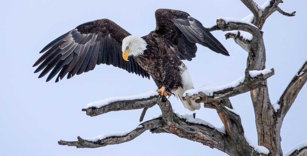 Bald Eagle. Photo: Daryl Saffer