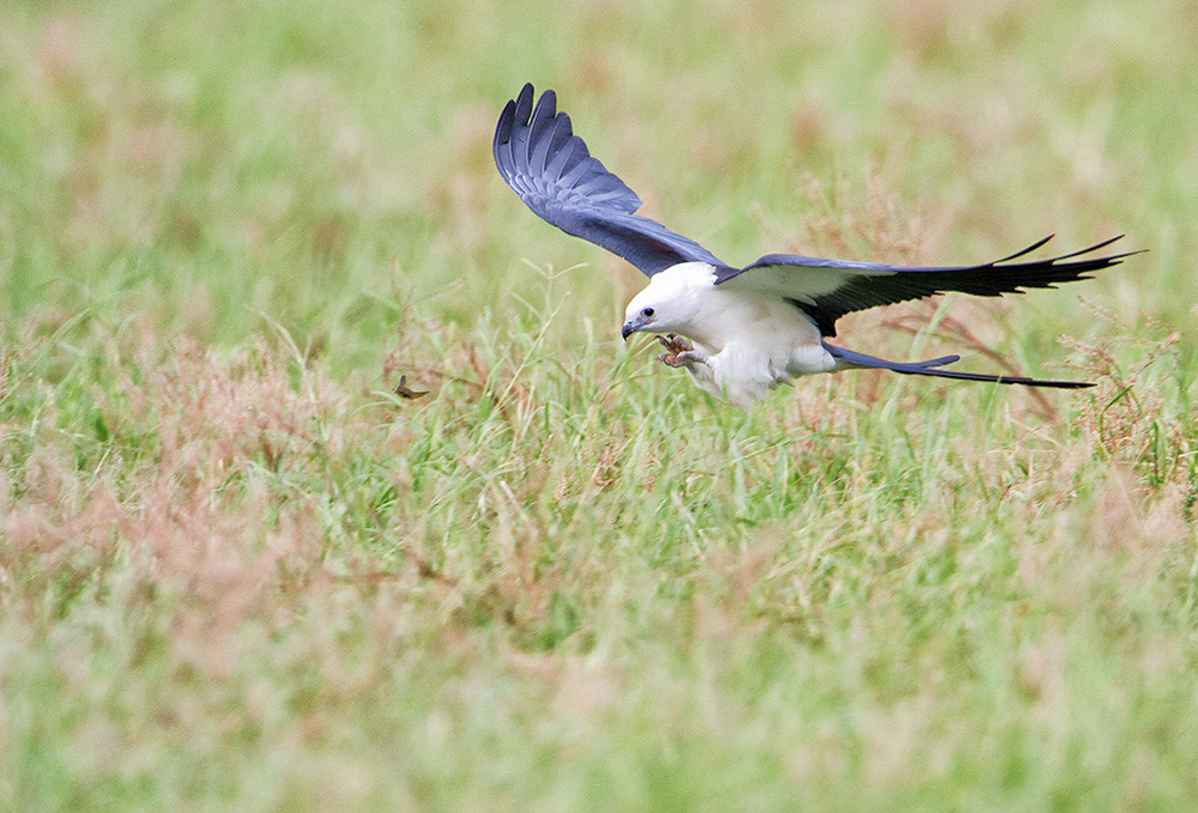 Hovering over an green field of grass, a Swallow-tailed Kite, white plumage , black eyes, black outline of wings and tail grabs an insect in mid air