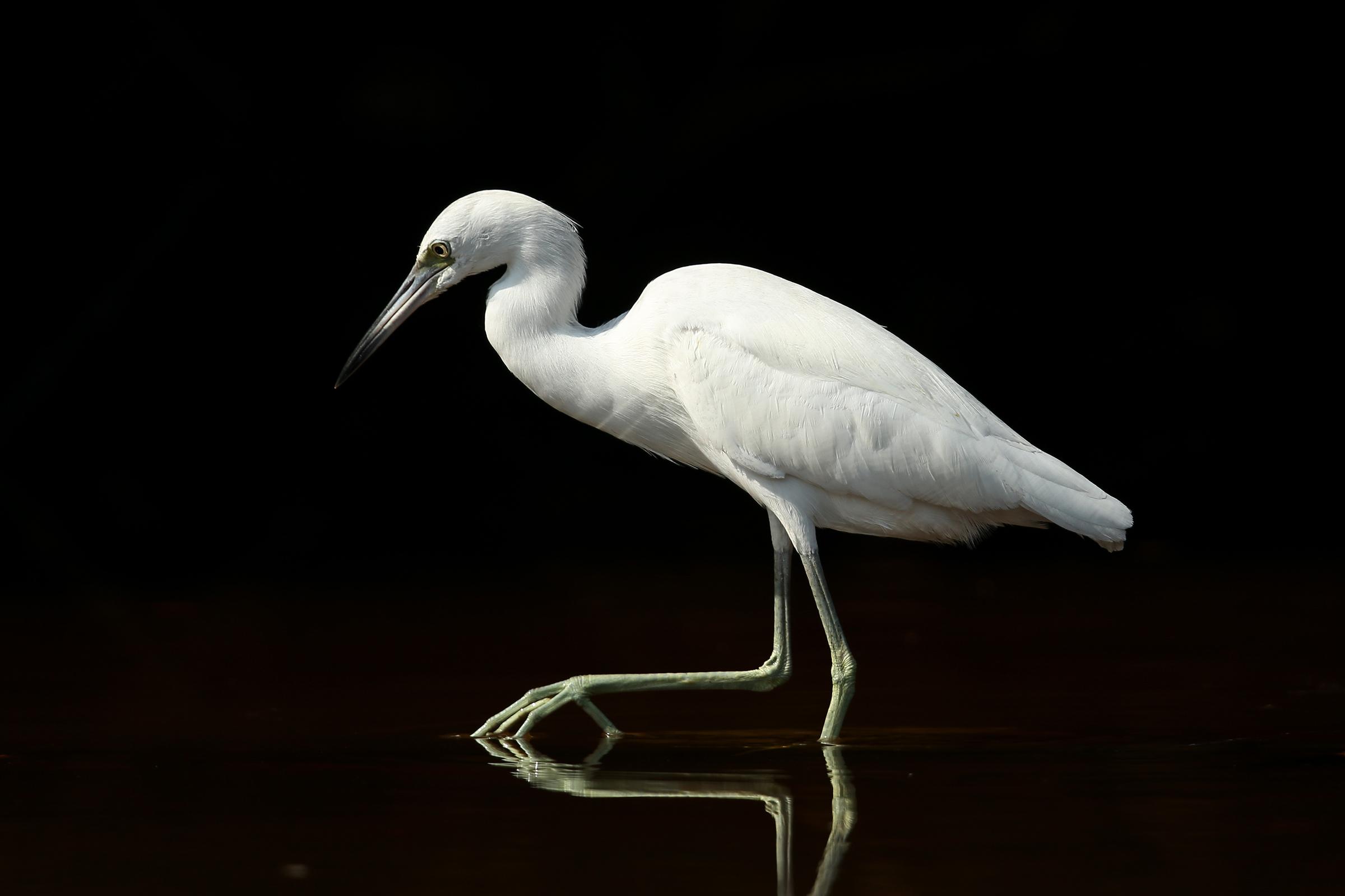 Little Blue Heron. Photo: Teri Franzen/Audubon Photography Awards.