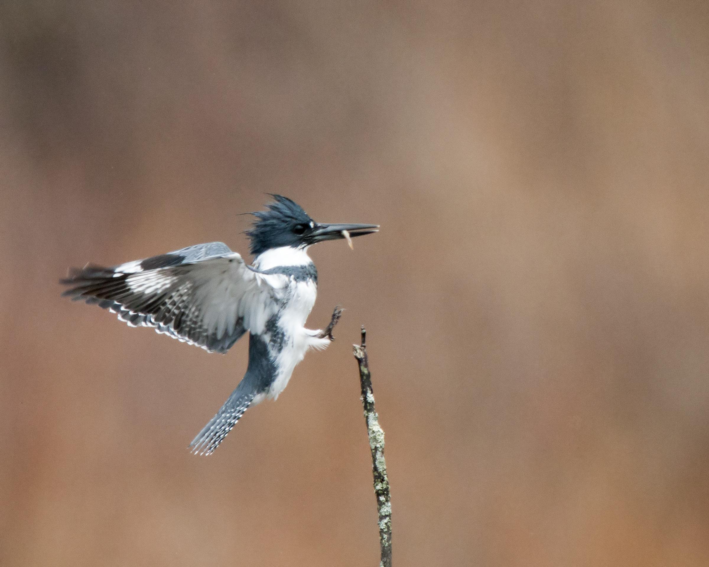 Belted Kingfisher. Photo: Gail DuBois/Audubon Photography Awards.