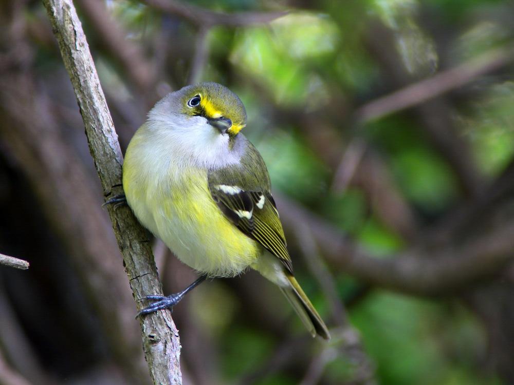 White-eyed Vireo. Photo: Megumi Aita/Audubon Photography Awards.