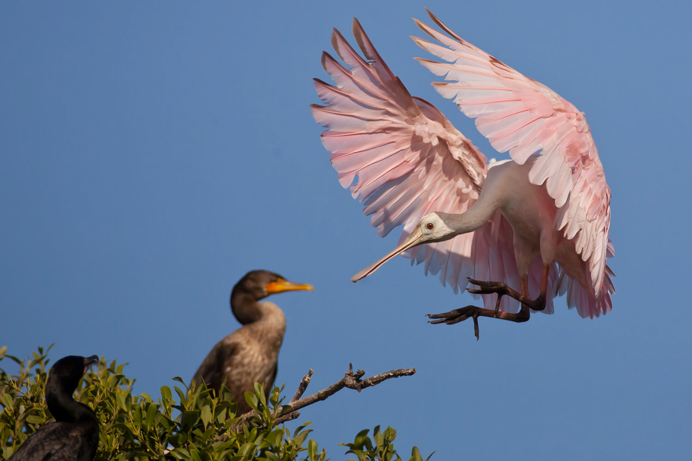 Roseate Spoonbill and Double-crested Cormorant. Photo: Andy Long / Audubon Photography Awards