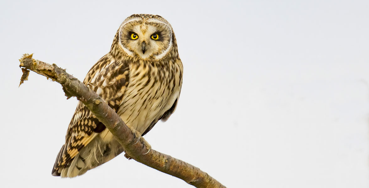 A Short-eared Owl perches on a branch.