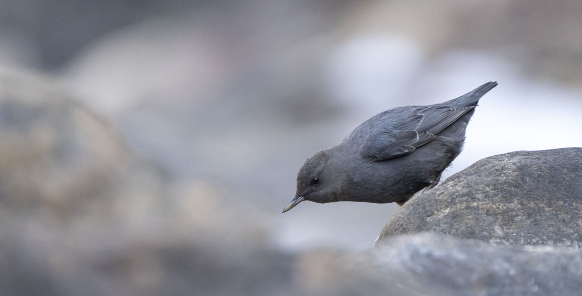 An American Dipper perched on a rock.